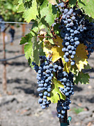 Syrah Photo Metal Prints - Petite Syrah Grapes Metal Print by Ray Fugitt