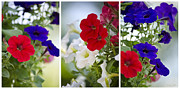 Trio Framed Prints - Petunia Flowers Triptych Art Framed Print by Christina Rollo