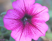 Fushia Photos - Petunia by LC  Linda Scott