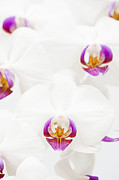 Houseplant Prints - Phalaenopsis Print by Anne Gilbert