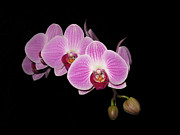 Elizabeth Debenham - Phalaenopsis on Black