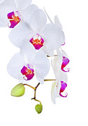 Robert Jensen Metal Prints - Phalaenopsis Orchids Against White Background Metal Print by Robert Jensen