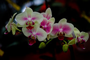 Donald Chen - Phalaenopsis Pink Orchid