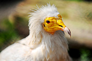 Feathers Look Framed Prints - Pharaoh Chicken. Egyptian Vulture Framed Print by Jenny Rainbow