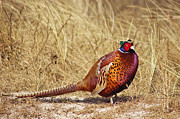 Pheasant Photos - Pheasant  by Angela Doelling AD DESIGN Photo and PhotoArt