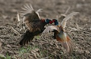 Dragomir Felix-bogdan - Pheasant Batle