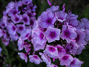 Phlox Framed Prints - Phenomenal Phlox Framed Print by Jo-Anne Gazo-McKim