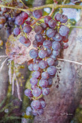 Purple Grapes Framed Prints - Phils Grapes Framed Print by Jeff Swanson