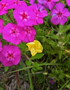 Phlox Framed Prints - Phlox and a Touch of Yellow Framed Print by Warren Thompson