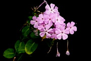 Phlox Originals - Phlox by Betsy Cotton