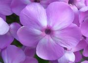 Edwards Digital Art - Phlox Close Up by Jill Edwards
