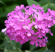 Phlox Originals - Phlox Flowers  by Ruth  Housley