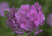 Purple Phlox Framed Prints - Phlox Nicky Framed Print by Teresa Mucha