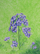 Phlox Drawings Prints - Phlox Print by Tina McCurdy