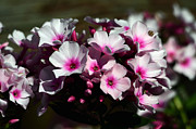 Phlox Originals - Phlox with a fuchsia accent by Chris Tennis