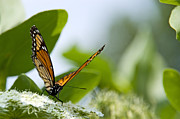 Outdoors Posters - Photo of Monarch Butterfly on a Flower Poster by Paul Velgos