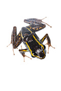 Isla Prints - Phyllobates lugubris with a tadpole Print by JP Lawrence