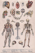 Human Skeleton Drawings - Physiology by Vincent Brooks Day
