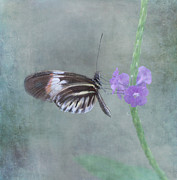 Piano Key Butterfly Print by Kim Hojnacki