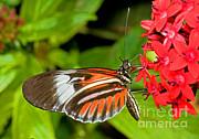 Piano Key Butterfly Print by Millard H. Sharp