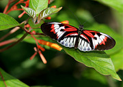 Macro Art Prints - Piano Key Butterfly on Fire Bush Print by Sabrina L Ryan