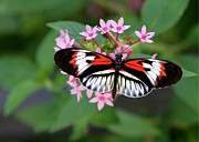 Sabrina L Ryan Metal Prints - Piano Key Butterfly on Pink Penta Metal Print by Sabrina L Ryan