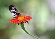 Florida Flower Prints - Piano Wings Butterfly Print by Sabrina L Ryan