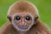 Primates Posters - Pick a Card Any Card Poster by Ashley Vincent