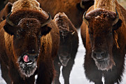 Bison Art - Picken by Christopher Balmer