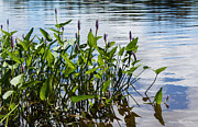 Pickerel Posters - Pickerel Weed Poster by Barbara McMahon