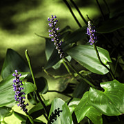 Pickerel Prints - Pickerel Weed Blooms Print by Lynn Palmer