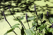 Pickerel Prints - Pickerel Weed Flowers Print by Lynn Palmer