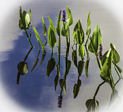 Pickerel Weed Vignetted In White Print by Karen Stephenson