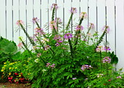 Cleome Flower Prints - Picket Fancy Print by Deborah  Crew-Johnson