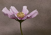 Muted Mauve Framed Prints - Picotee Cosmos Still Life Framed Print by Kathy Clark