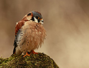 Shelley Myke Art - Picture Perfect American Kestrel  by Inspired Nature Photography By Shelley Myke