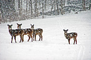 Does. Winter Prints - Picture Perfect Deer Print by Aimee L Maher