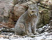 Shelley Myke Prints - Picture Perfect Lynx in the Snow Print by Inspired Nature Photography By Shelley Myke