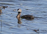 Duane Klipping - Pied-billed Grebe