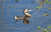Duck - Pied-billed Grebe by Kathy Gibbons