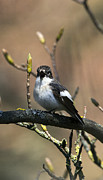 Flycatcher Originals - Pied Flycatcher calling by Bob Kemp