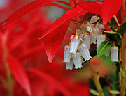 Red Leaves Photos - Pieris japonica by Randy Hall