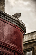 Ledge Photo Framed Prints - Pigeon Framed Print by Margie Hurwich