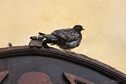 Diana Haronis - Pigeon On Archway