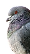 Jennifer Wheatley Wolf - Pigeon Portrait