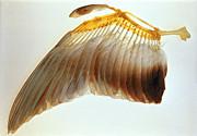 Pigeon Wing Print by Biophoto Associates