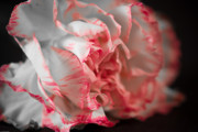 Macro Flower Prints - Pigment of Imagination Print by Charles Dobbs