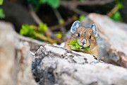 Critter Photos - Pika by Ian Stotesbury