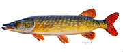Chinook Salmon Prints - Pike Print by Carey Chen