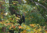 Vermont Photos - Pileated Climb by Neal  Eslinger